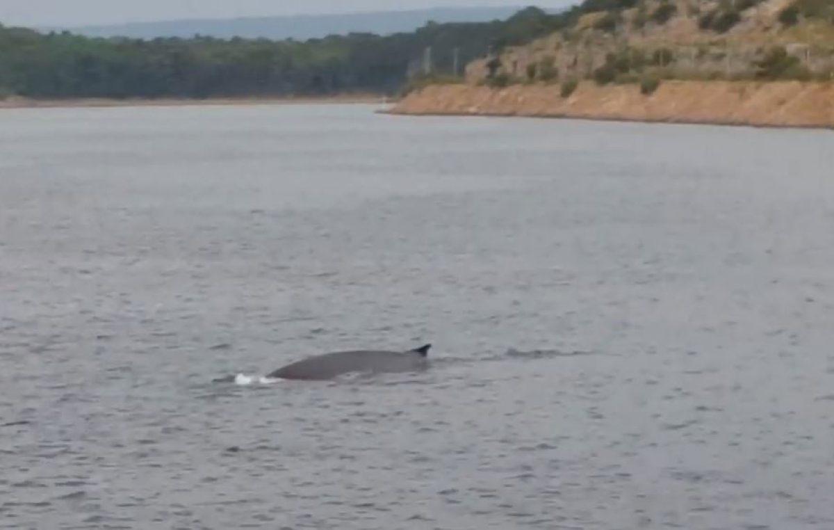 VIDEO Veliki sjeverni kit snimljen u Omišaljskom zaljevu!