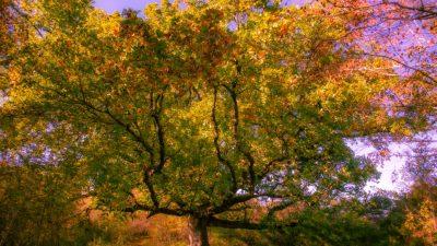 Stari hrast sa Čavlene mogao bi postati hrvatsko stablo godine! Natječaj traje još samo par dana, evo gdje glasati