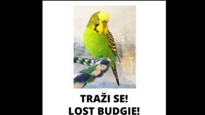 Na području Brzaca pobjegla papigica, vlasnici nude nagradu. Jeste li je vidjeli?