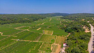 Vinari najavljuju odličnu godinu: Započela velika trgadba grožđa na Kvarneru, žlahtina je u glavnoj ulozi